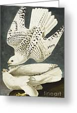 Iceland Or Jer Falcon Greeting Card by John James Audubon