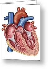 Interior Of Human Heart Greeting Card by Stocktrek Images