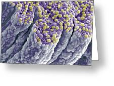 Iris Pigment Epithelium, Sem Greeting Card by Steve Gschmeissner