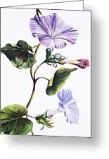 Isabella Sinclair - Pohue Greeting Card by Hawaiian Legacy Archive - Printscapes