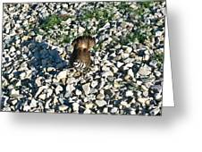 Killdeer 2 Greeting Card by Douglas Barnett