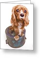 King Charles Spaniel Puppy Greeting Card by Edward Fielding