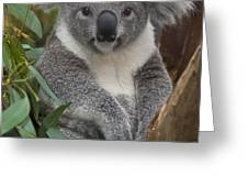Koala Phascolarctos Cinereus Greeting Card by ZSSD