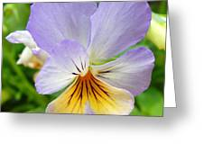 Lavender Pansy Greeting Card by Nancy Mueller