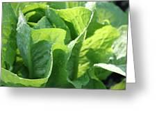 Leaf Lettuce Greeting Card by Lauri Novak