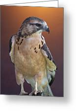 Light Morph Immature Swainsons Hawk Greeting Card by Ernie Echols