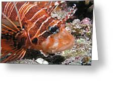 Lionfish Closeup Greeting Card by Gary Hughes
