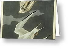 Little Tern Greeting Card by John James Audubon