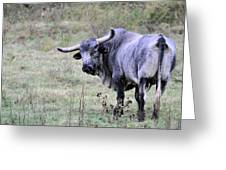 Lotta Bull Greeting Card by Jan Amiss Photography