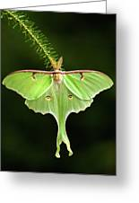 Luna Moth Spreading Its Wings. Greeting Card by Daniel Cadieux