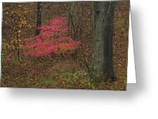 Magenta Tree In Woods Greeting Card by Don Wolf