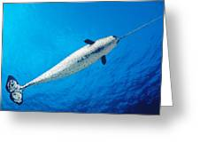 Male Narwhal Greeting Card by Dave Fleetham - Printscapes