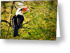 Male Von Der Decken's Hornbill Greeting Card by Adam Romanowicz