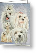 Maltese Collage Greeting Card by Barbara Keith