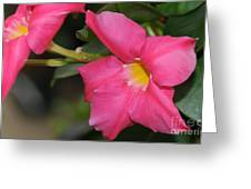 Mandevilla Greeting Card by Patrick  Short