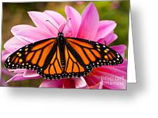 Monarch And Dahlia Greeting Card by Steve Augustin