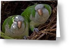 Monk Parakeet Pair Greeting Card by Larry Linton