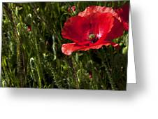 Morning Poppy Greeting Card by Svetlana Sewell