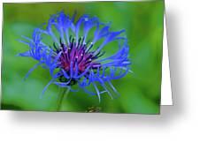 Mountain Cornflower Greeting Card by Byron Varvarigos