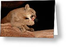 Mountain Lion In Cave Licking Paw Greeting Card by Max Allen