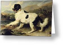 Newfoundland Dog Called Lion Greeting Card by Sir Edwin Landseer