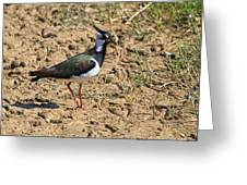 Northern Lapwing Greeting Card by Louise Heusinkveld