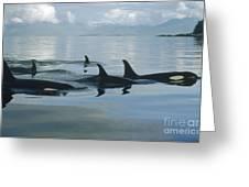 Orca Pod Johnstone Strait Canada Greeting Card by Flip Nicklin