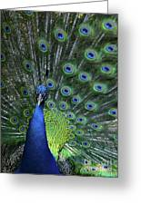 Peacock Greeting Card by Sabrina L Ryan