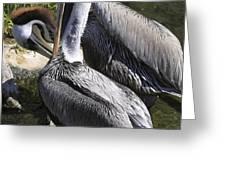 Pelican Duo Greeting Card by Deborah Benoit