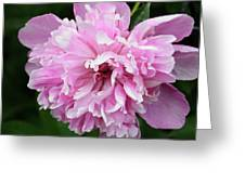 Peony Perfection Greeting Card by Angelina Vick