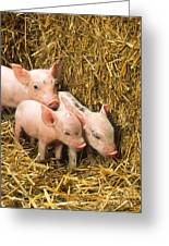 Piglets Greeting Card by Science Source