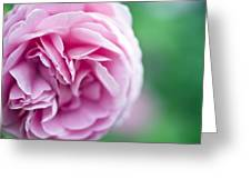 Pink Bourbon Rose Louise Odier Greeting Card by Frank Tschakert