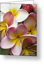 Pink Frangipani Greeting Card by Avalon Fine Art Photography