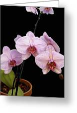 Pink Orchids Greeting Card by Kurt Van Wagner