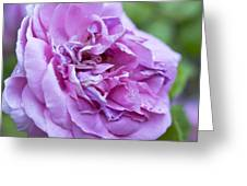 Pink Rose Flower Greeting Card by Frank Tschakert