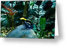 Poison Dart Frog Poised For Leap Greeting Card by Douglas Barnett
