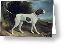 Portrait Of A Liver And White Pointer Greeting Card by George Garrard