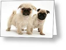 Pugzu And Pug Puppies Greeting Card by Jane Burton