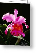 Purple Cattleya Greeting Card by Tomas del Amo - Printscapes