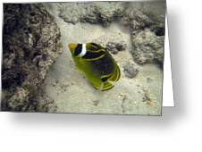 Raccoon Butterflyfish Greeting Card by Michael Peychich