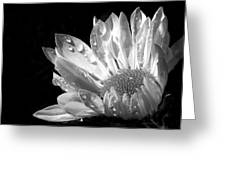 Raindrops on Daisy Black and White Greeting Card by Jennie Marie Schell