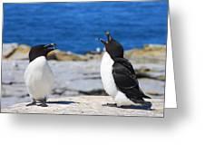 Razorbills Calling On Island Greeting Card by John Burk