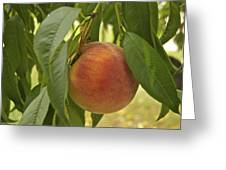 Ready For Picking 2904 Greeting Card by Michael Peychich