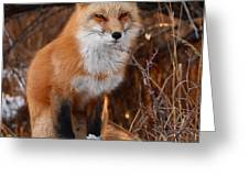 Red Fox Pausing Atop Log Greeting Card by Max Allen