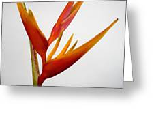 Red Heliconia Greeting Card by Tomas del Amo - Printscapes