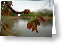 Red Maple Seed Pods At Dawn Greeting Card by Kent Lorentzen