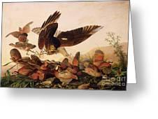 Red Shouldered Hawk Attacking Bobwhite Partridge Greeting Card by John James Audubon