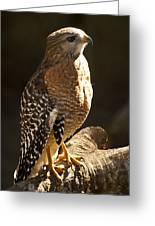 Red-shouldered Hawk Greeting Card by Carolyn Marshall