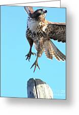 Red Tailed Hawk Taking Off . 40d10170 Greeting Card by Wingsdomain Art and Photography
