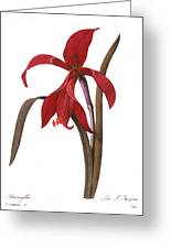 Redout�: St. James Lily Greeting Card by Granger
